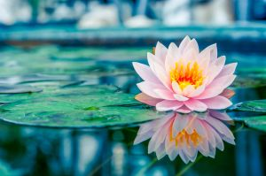 25573706 - beautiful pink lotus, water plant with reflection in a pond